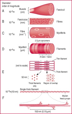 skeletal muscle | definition of skeletal muscle by medical dictionary, Cephalic Vein