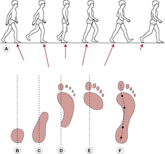 Gait cycle   definition of gait cycle by Medical dictionary