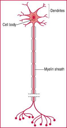 Motor Neurone Motoneurone Definition Of Motor Neurone