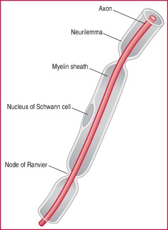 nerve fibre | definition of nerve fibre by medical dictionary, Cephalic Vein