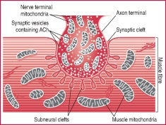 skeletal muscle tissue | definition of skeletal muscle tissue by, Cephalic Vein