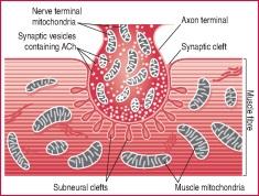 skeletal muscle tissue | definition of skeletal muscle tissue by, Cephalic Vein