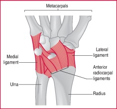 wrist joint | definition of wrist joint by medical dictionary, Human Body