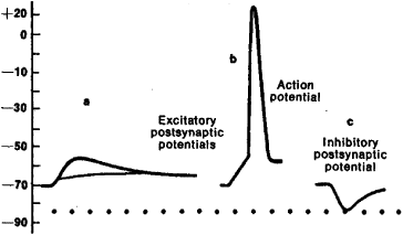 inhibitory or excitatory potential changes essay An inhibitory postsynaptic potential an electric current that changes the postsynaptic membrane potential to create a more negative postsynaptic potential is generated microelectrodes can be used to measure postsynaptic potentials at either excitatory or inhibitory synapses.