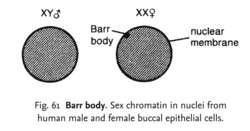 Barr body