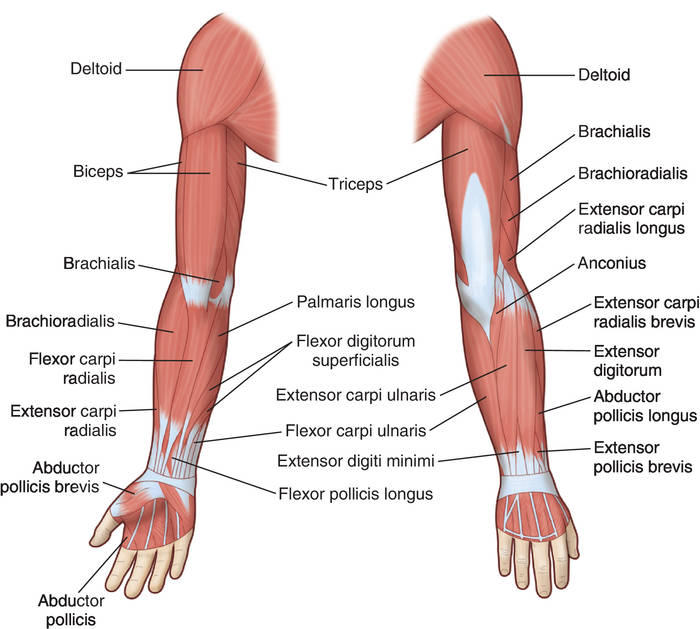 upper arm | definition of upper arm by medical dictionary, Human Body