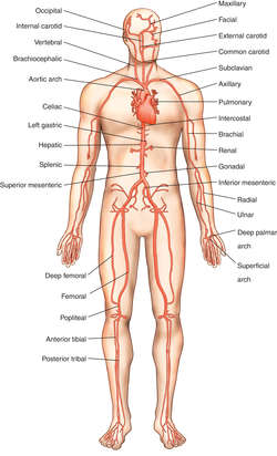 artery | definition of artery by medical dictionary, Human Body