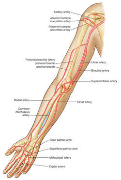brachial artery | definition of brachial artery by medical dictionary, Human body