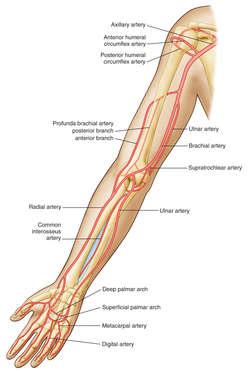 brachial artery | definition of brachial artery by medical dictionary, Human Body