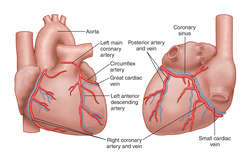 arteries | definition of arteries by medical dictionary, Human Body
