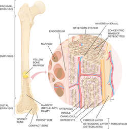 Bone tissue | definition of bone tissue by Medical dictionary