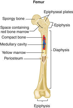 cavalry bone | definition of cavalry bone by medical dictionary, Cephalic Vein