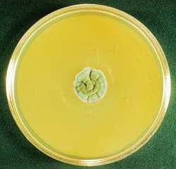 Cladosporium mold