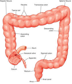 small colon | definition of small colon by medical dictionary, Human Body