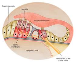 Define organ in anatomy