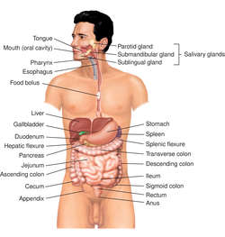 digestive system | definition of digestive system by medical, Human body
