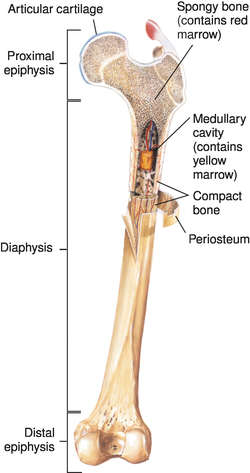 femur | definition of femur by medical dictionary, Human body