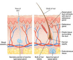 sudoriferous glands | definition of sudoriferous glands by medical, Human Body