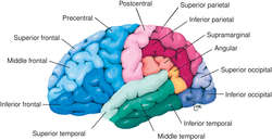 transverse temporal gyrus | definition of transverse temporal, Human Body