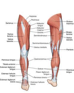 leg (anatomy) | definition of leg (anatomy) by medical dictionary, Human Body