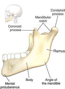 mandible definition of mandible by medical dictionary Skeletal Bones Diagram Skull Bones Diagram Worksheet