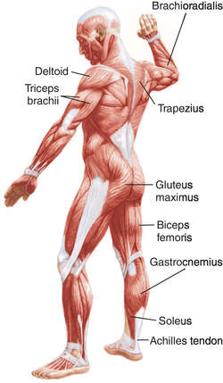 muscle | definition of muscle by medical dictionary, Muscles