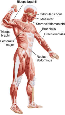 antagonist muscle | definition of antagonist muscle by medical, Muscles