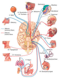 nerve | definition of nerve by medical dictionary, Cephalic Vein