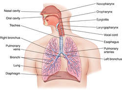 respiratory system | definition of respiratory system by medical, Human body