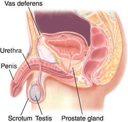 vas deferens | definition of vas deferens by medical dictionary, Human Body