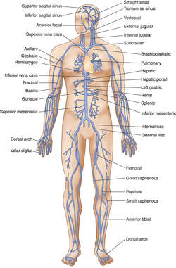 innominate vein | definition of innominate vein by medical dictionary, Cephalic Vein