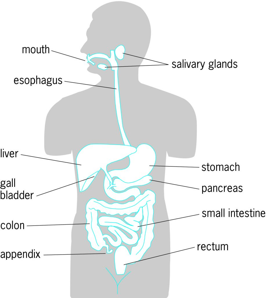 Simple human digestive system diagram simple human digestive system diagram photo19 ccuart Images