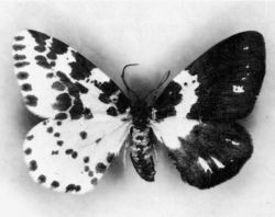 Bilateral gynandromorphism in the moth Abraxas grossulariata