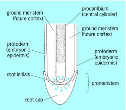 Diagram of a root apical meristem