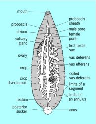 General structure of a leech