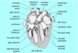 Internal structure of four-chambered mammalian heart, ventral view