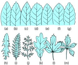 Leaf margins of various types
