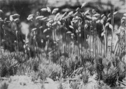 Moss plant, Polytrichum juniperinum
