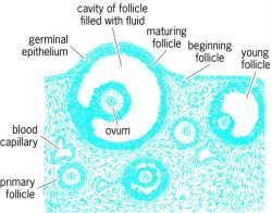 Section of a mammalian ovary