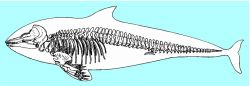 Skeleton of a porpoise, highly specialized for an aquatic life