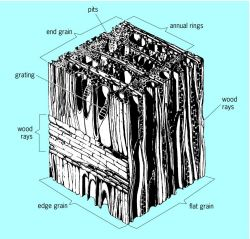 'Structure of a typical hardwood' from the web at 'http://img.tfd.com/mgh/ceb/thumb/Structure-of-a-typical-hardwood.jpg'
