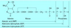 Structure of adenylic acid and phosphate derivatives ADP and ATP