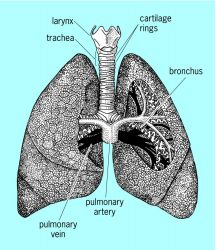 The human lung