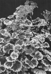 Variegated Pelargonium , a periclinal chimera whose second tunica layer is genetically white and whose corpus is genetically green