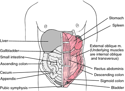abdomen | definition of abdomen by medical dictionary, Skeleton
