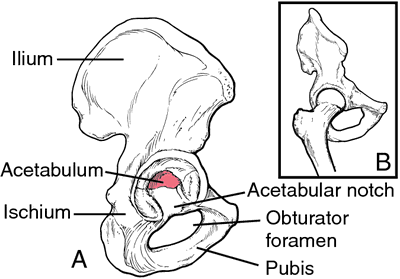 Acetabulum | definition of acetabulum by Medical dictionary
