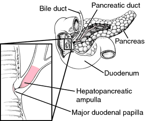 ampulla of vater | definition of ampulla of vater by medical, Human Body