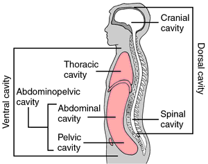 thoracic cavity | definition of thoracic cavity by medical dictionary, Human Body