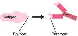 Antigenic determinant sites