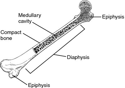 diaphysis | definition of diaphysis by medical dictionary, Cephalic Vein